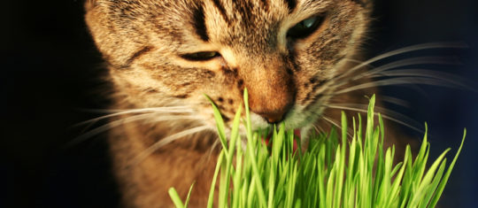 herbe aux chats
