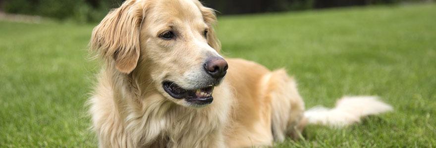 dresser un chien Beagle