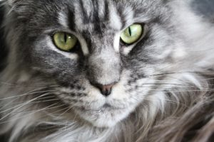 Chat Maine Coon gris adulte