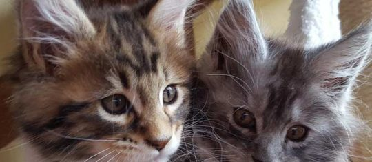 chat Maine Coon,